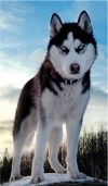 5D DIY Diamond Painting Husky (#1)