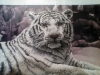 5D DIY Diamond Painting Tiger (#04)